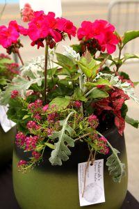 Geranium planter Charlottetown PEI